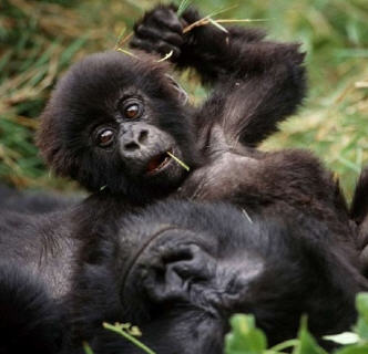 What does mobile gaming have to do with saving mountain gorillas?